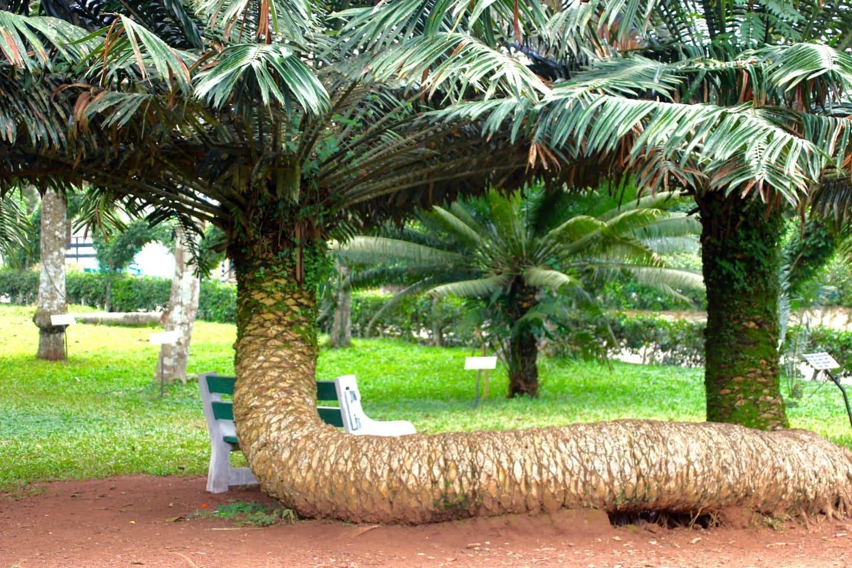 Aburi Gardens sleeping palm tree